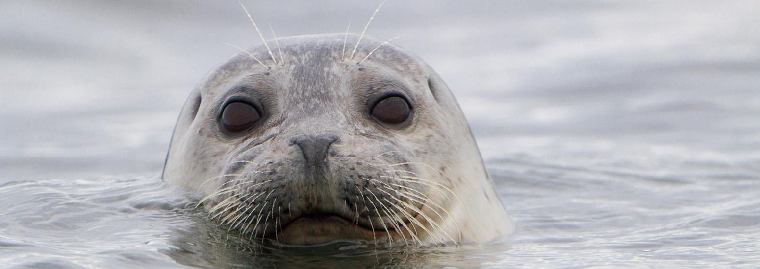 Harbor Seal in Port Angeles